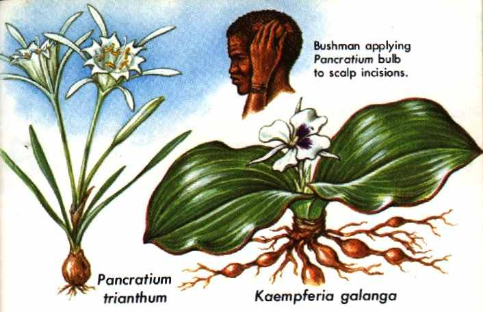 erowid online books golden guide hallucinogenic plants pg 21 30 rh erowid org golden guide to hallucinogenic plants ebay Hallucinogenic Plants in North America