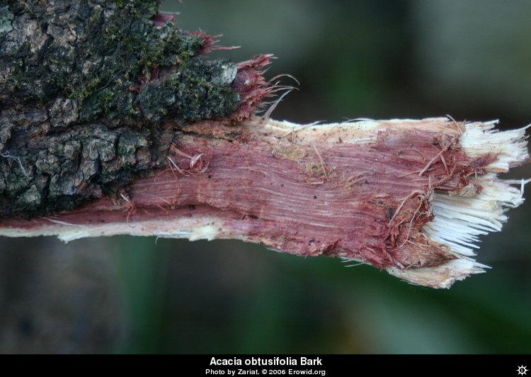 Erowid Plants Vaults Images Acacia Obtusifolia Barki2005e0369disp