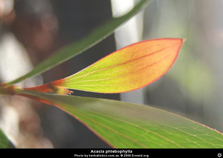 Erowid Plants Vaults : Images : acacia phlebophylla