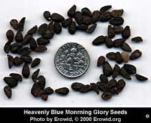 Morning Glory Seeds Erowid morning glory vault: basics