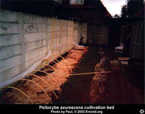 Erowid Plants Vaults : Images : cultivation psilocybe azurescens