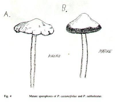Erowid psilocybin mushroom vault: safe-pik guide: p. Pelliculosa #9.