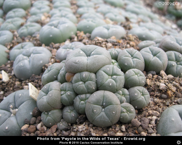 how to grow peyote fast