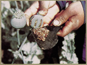 Erowid poppy vault from flowers to heroin harvesting raw opium mightylinksfo Image collections